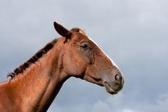 Het Paard van de kastanje dat door Vliegen met Stormachtige Hemel wordt gehinderd royalty-vrije stock afbeeldingen