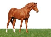 Het paard van de kastanje op gras dat op wit wordt geïsoleerd Stock Afbeeldingen