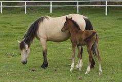 Het paard van de merrie en van het merrieveulen Royalty-vrije Stock Afbeeldingen