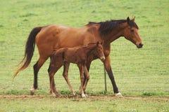 Het paard van de moeder Stock Fotografie