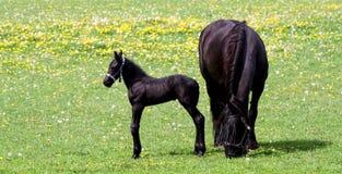 Het paard van de moeder en haar baby Royalty-vrije Stock Foto