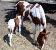 Het paard van de moeder en van de baby Stock Afbeeldingen