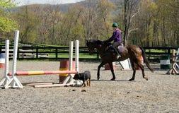Het paard van de opleiding in arena met hond Stock Fotografie
