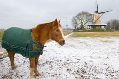 Het paard van de winter in Nederlands landschap Stock Afbeeldingen