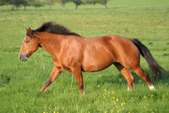 Het paard van Freiberger stock afbeeldingen