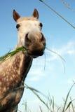 Het paard van Grazy stock foto's