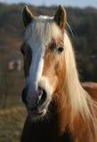Het paard van Haflinger royalty-vrije stock afbeelding