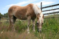 Het paard van Haflinger Stock Foto's