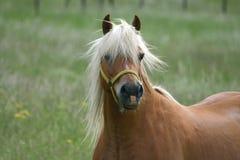 Het paard van Haflinger stock afbeeldingen