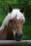 Het paard van Haflinger stock fotografie