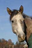 Het paard van het kwart Royalty-vrije Stock Foto