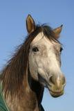 Het paard van het kwart Stock Foto's