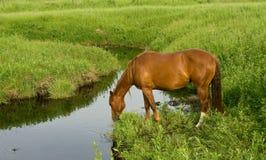 Het Paard van het kwart bij Kreek Royalty-vrije Stock Afbeeldingen