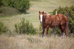 Het paard van het kwart in weiland stock foto