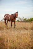 Het Paard van het kwart in weiland Stock Fotografie