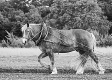 Het paard van het landbouwbedrijf op een gebied Royalty-vrije Stock Afbeeldingen