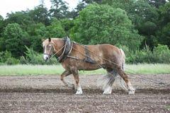 Het paard van het landbouwbedrijf op het werk Stock Afbeeldingen