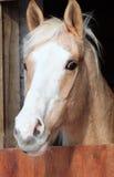 Het paard van het portret Stock Foto's