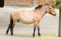 Het paard van het Przewalski-vogelhuis Stock Foto's