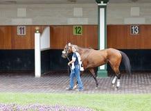 Het paard van het ras bij de paddock Stock Fotografie