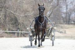 Het paard van het rasspoor stock afbeelding