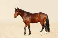 Het paard van het volbloed paarden Stock Fotografie