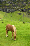 Het paard van Iclandic Royalty-vrije Stock Afbeelding