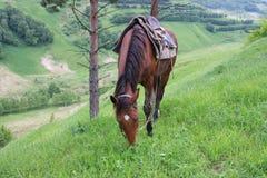Het paard van Karacheav Stock Afbeelding