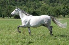 Het paard van Lusitano royalty-vrije stock fotografie
