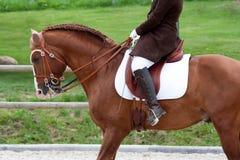 Het Paard van Lusitano met Ruiter Stock Foto