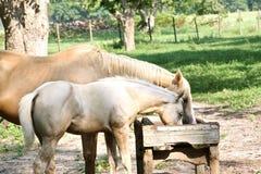 Het paard van mamma's en van de baby het eten Royalty-vrije Stock Foto