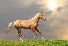 Het paard van Palomino Stock Afbeeldingen