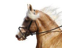 Het paard van Palomino Stock Foto's