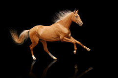 Het paard van Palomino dat op zwarte wordt geïsoleerdd Royalty-vrije Stock Foto