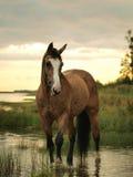 Het paard van Palomino in water Stock Fotografie
