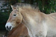 Het paard van Przewalski Stock Afbeelding