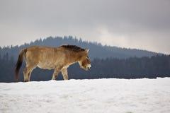 Het paard van Przewalski Stock Afbeeldingen