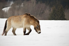 Het paard van Przewalski Stock Foto