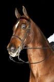 Het paard van Saddlebred Stock Afbeeldingen