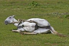 Het paard van Wallowing stock fotografie