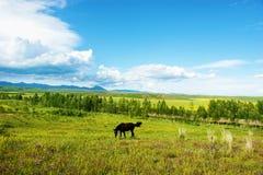 Het paard van weiden Royalty-vrije Stock Afbeelding