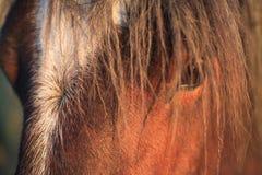 Het paard ziet eruit Stock Fotografie