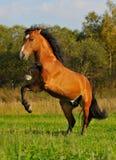 Het paardhengst die van de baai zich op gras in de herfst bevindt Royalty-vrije Stock Afbeeldingen
