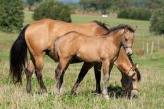 Het paardmerrie en veulen van het kwart Stock Foto