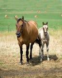Het paardmerrie en veulen van het kwart Stock Fotografie