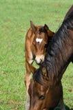 Het paardmerrie en veulen van het kwart Royalty-vrije Stock Foto
