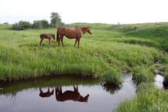 Het paardmerrie en veulen van het kwart Royalty-vrije Stock Afbeelding