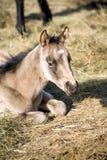 Het paardmerrieveulen van het kwart Stock Foto's