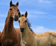 Het paardmerrieveulen van het kwart en een veulen royalty-vrije stock foto's