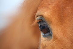 Het paardoog van de kastanje Royalty-vrije Stock Afbeeldingen